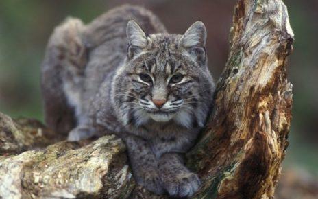 Kucing Liar Fluffy Berekor Pendek Bobcat