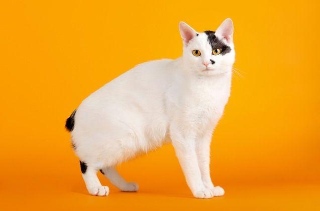 Kenalan yuk dengan Ras Kucing Ini