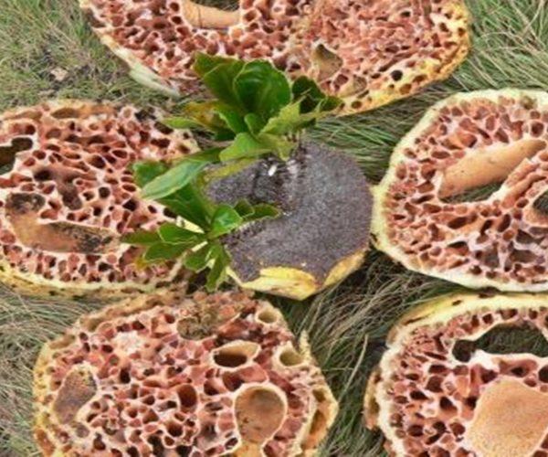 10 Manfaat Sarang Semut Papua Asli, Kaya Antioksidan
