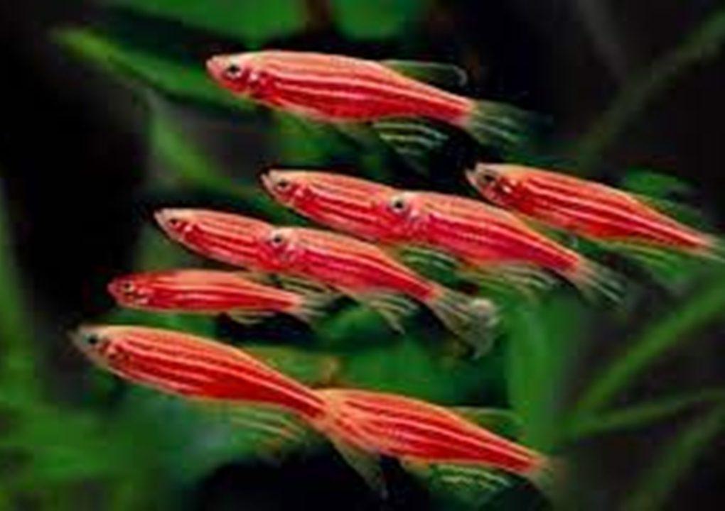 10 Jenis Ikan Hias Kecil Air Tawar yang Mudah Dipelihara di Akuarium